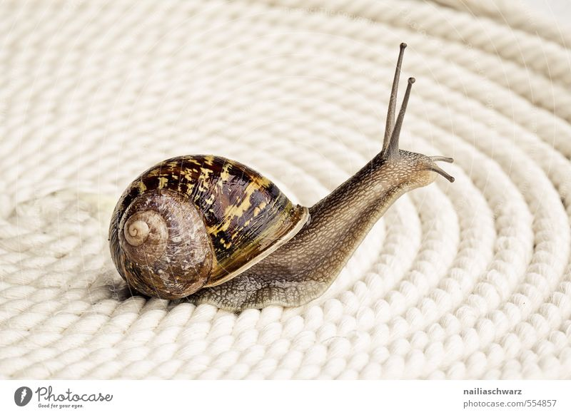 racing snail Summer Animal Wild animal Snail Vineyard snail reindeer snail 1 Glittering Round Slimy Brown Yellow Crawl Speed Colour photo Subdued colour