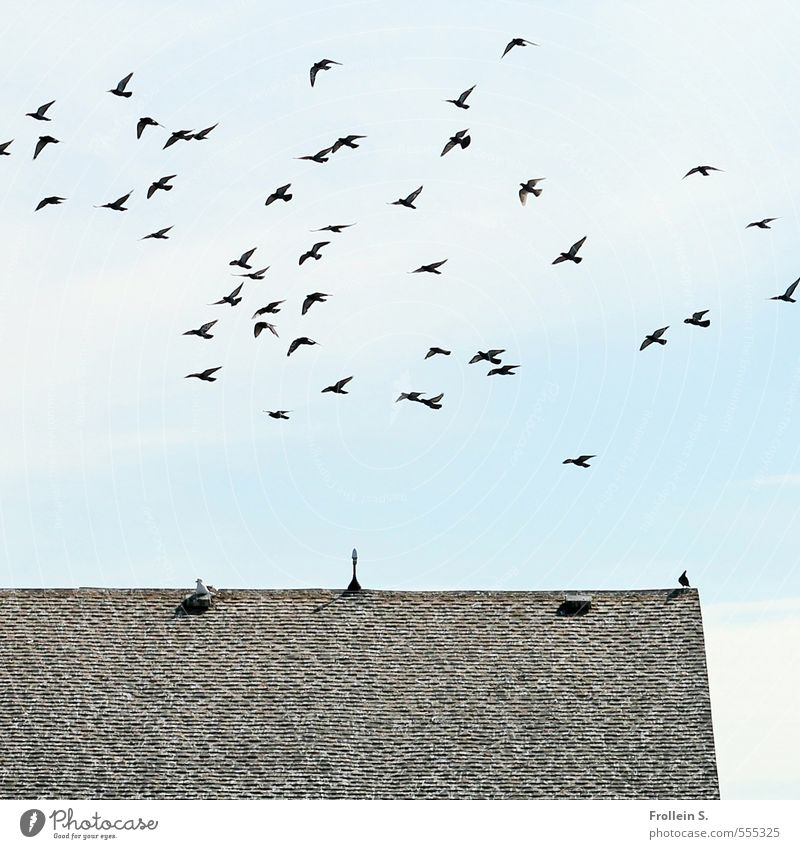 The big flutter Sky Clouds Roof Roofing tile Bird Flock Flying Free Blue Gray Black Esthetic Freedom Society Far-off places Attachment Colour photo