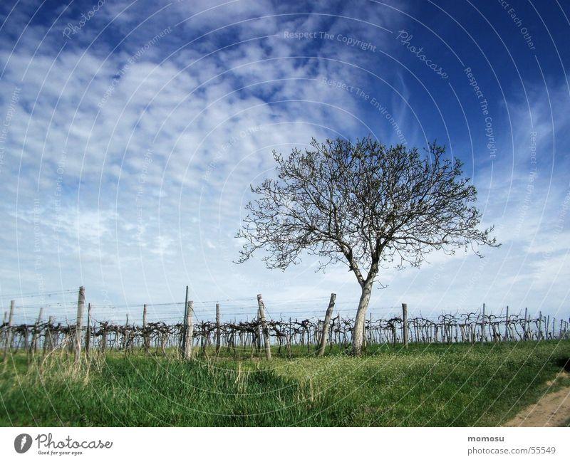 Spring in the vineyard Wine growing Tree Vine Grass Clouds Sky