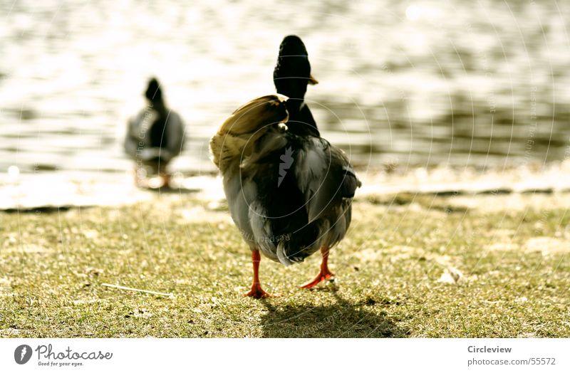 Water Sun Jump Grass Spring Lake Bird Walking Lawn Target Row Duck Single-minded Drake