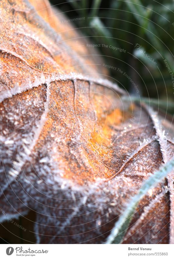 Yafal Plant Grass Leaf Yellow Green White Autumn leaves Frost Rachis Beautiful Hoar frost Blade of grass Brown Colour photo Exterior shot Close-up Deserted