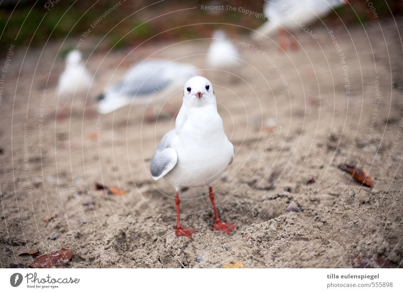 Hermann Vacation & Travel Beach Sand Autumn Baltic Sea Ocean Animal Wild animal Bird Animal face 1 Group of animals Observe Looking Stand Wait Brash Natural