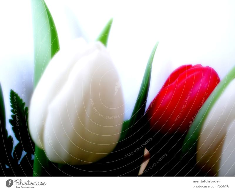 tulipa gesneriana Tulip White Green Plant Leaf Blossom Nutrients Light Photosynthesis Growth Blade of grass Background picture Stand Water Stalk