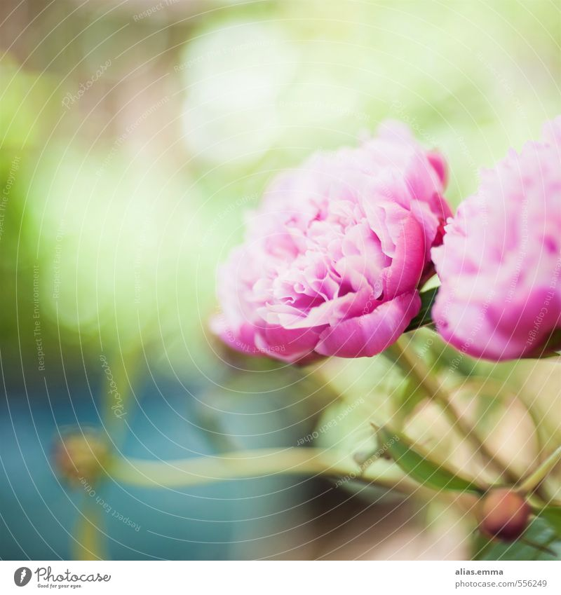 spring wonderland Peony Pentecost Flower Nature Pink Delicate Blossom Bud Green
