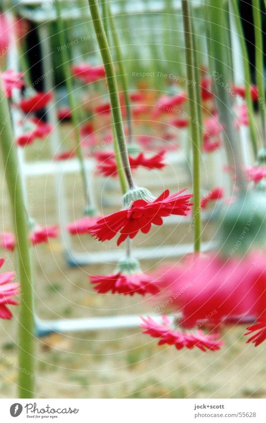 Nature Plant Beautiful Green Colour Red Flower Blossom Exceptional Line Art Growth Open Decoration Places Blossoming