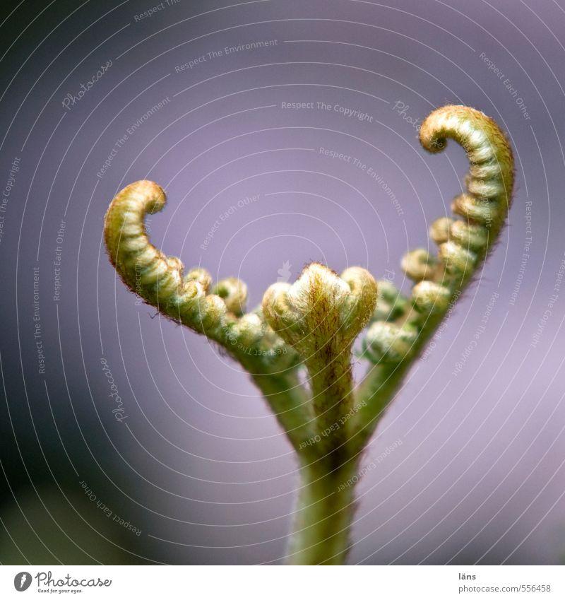 Nature Growth Beginning New Upward Stretching Fern