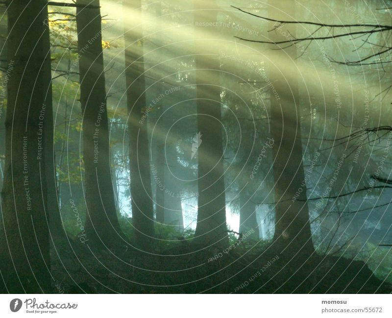 ray of hope Forest Coniferous forest Shaft of light Fog Sun Lighting