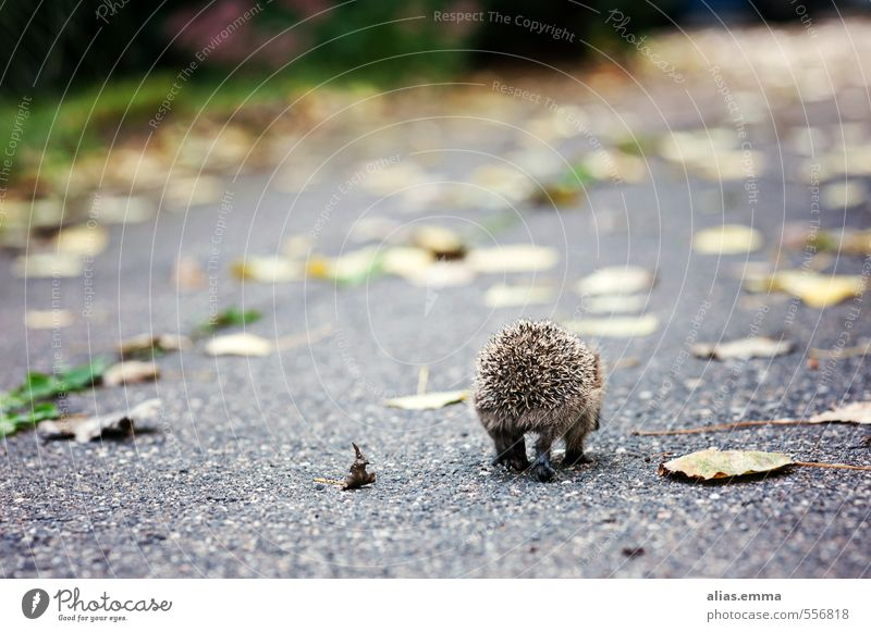 Have a good trip little hedgehog Hedgehog Animal Wild animal Winter Autumn Loneliness voyage To hibernate Thorny Spine Garden