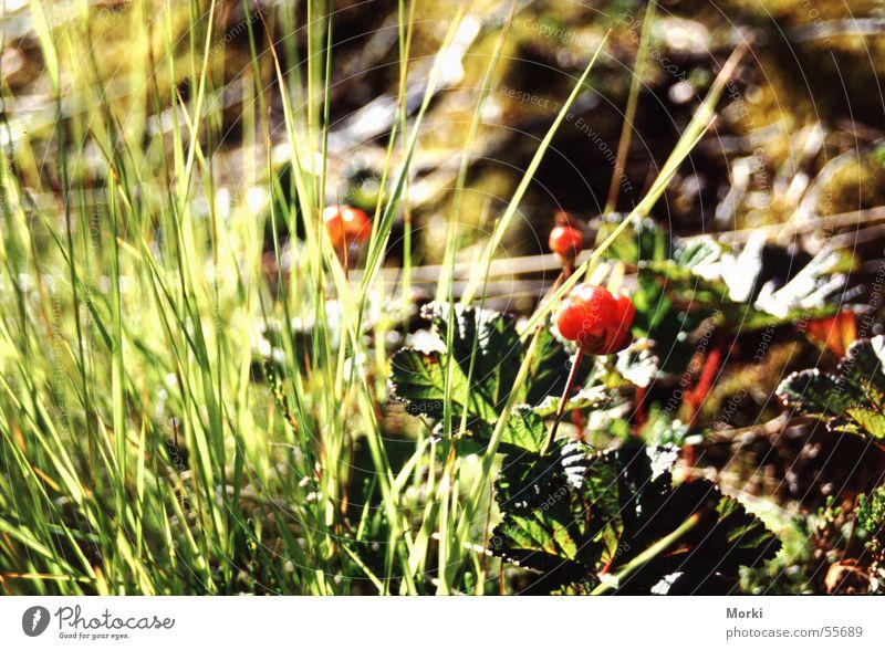 cloudberries Norway Scandinavia Red Grass Fruit