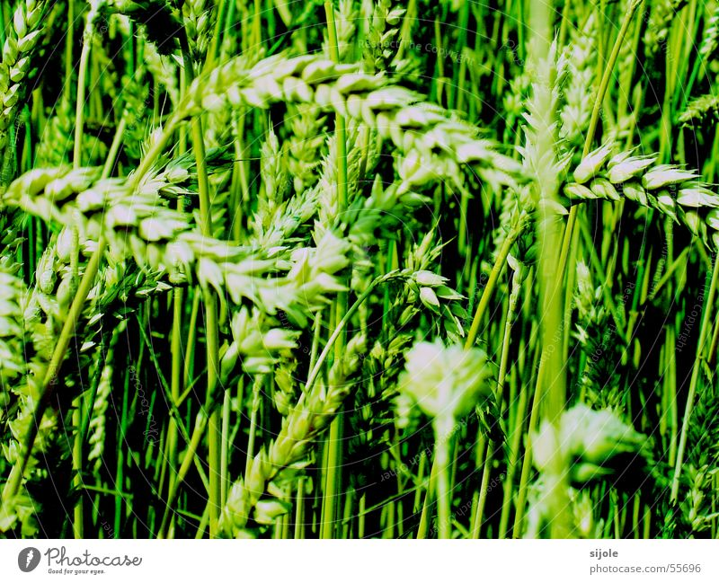 Green Field Grain Blade of grass Seed Wheat Sowing