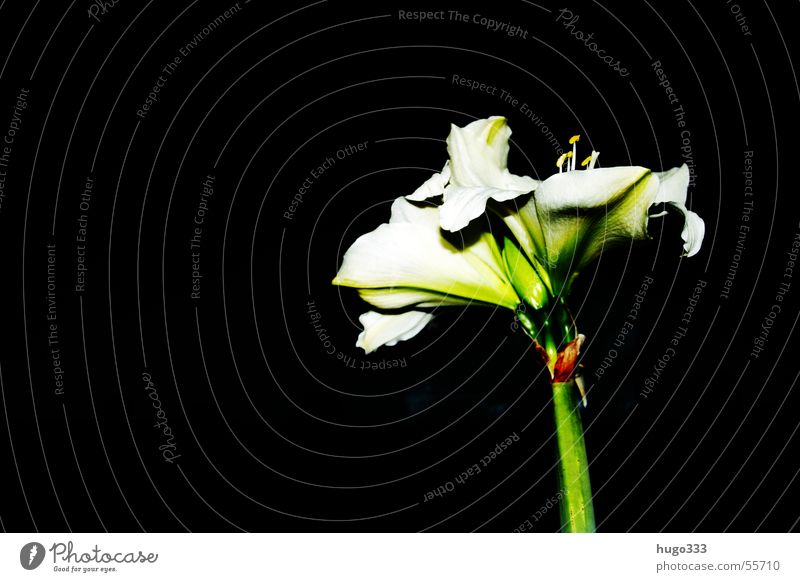 Amaryllis 3 Flower Stalk Blossom White Green Black Sky Leaf Dark Eerie Loneliness Africa Botany Decoration Exotic Fine Plant Horizontal Nature Noble South
