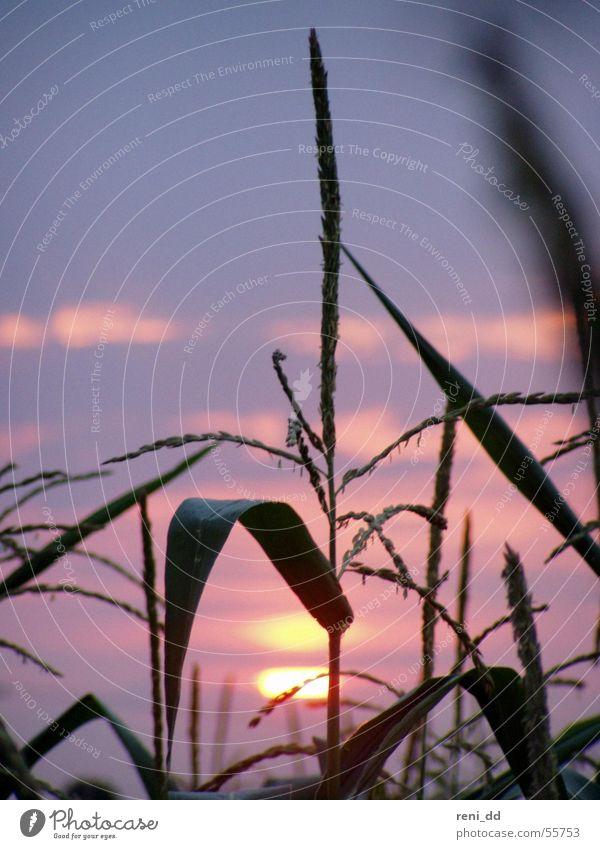 Nature Sky Sun Blue Summer Grass Field Pink Romance Maize Tepid Bright spot