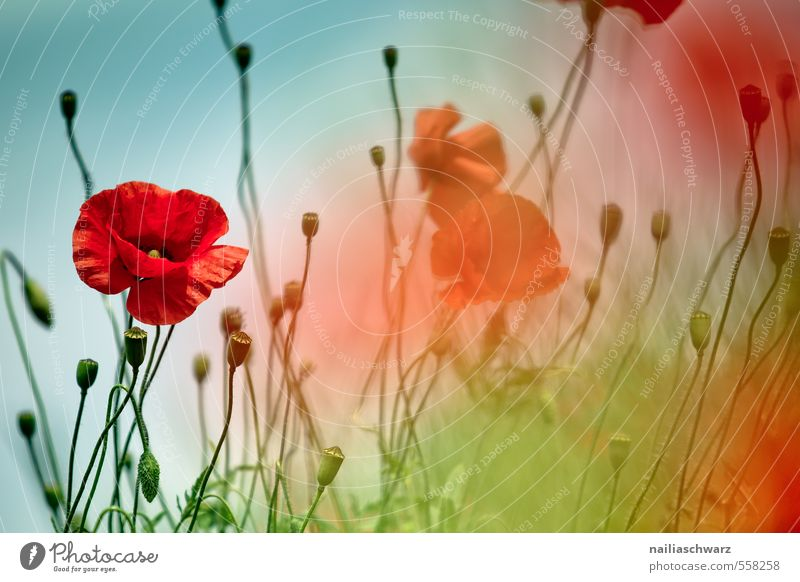 Poppies on summer meadow Summer Sun Garden Flower Grass Meadow Field Blossoming Blue Green Red Peaceful Idyll Poppy Corn poppy Meadow flower garden flower