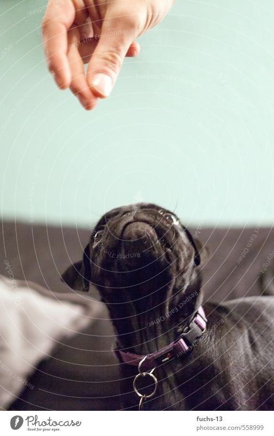 Give me that. Hand Fingers Animal Pet Dog Animal face Pug Puppy 1 Discover To feed Feeding Brash Curiosity Black Interest Appetite Whimsical Colour photo