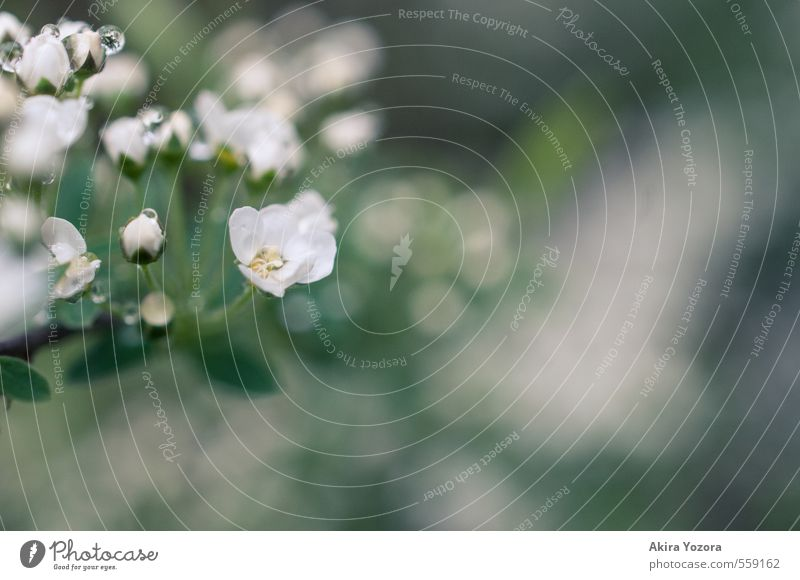 Freshly showered. Nature Plant Spring Summer Flower Blossom Blossoming Wet Natural Yellow Green White Spring fever Drops of water Colour photo Exterior shot
