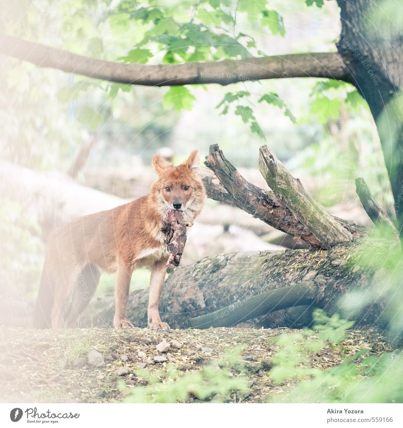 [222] Loot Nature Summer Plant Tree Leaf Wild animal Dog 1 Animal Discover Eating Catch To feed Hunting Looking Brown Green Orange White Appetite Success