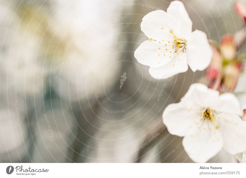 Nature White Plant Tree Yellow Spring Blossom Brown Pink Warm-heartedness Blossoming Spring fever Cherry blossom