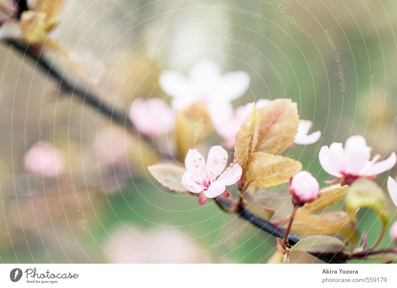 quietly Nature Spring Tree Leaf Blossom Green Pink Red Black Spring fever Romance Cherry tree Cherry blossom Ornamental cherry Blossoming Colour photo Detail