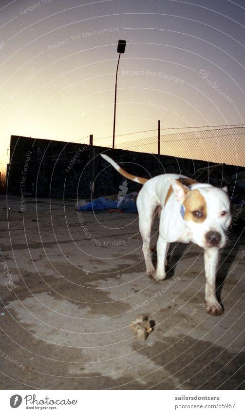 la vida Dog Pit Bull Garbage dump Twilight