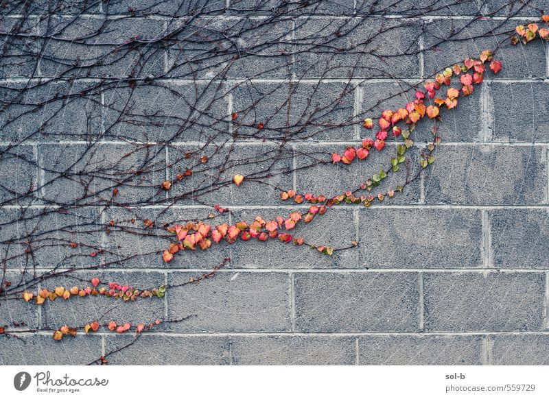 trail of blood Nature Plant Autumn Leaf Wall (barrier) Wall (building) Old Natural Passion Love Autumn leaves Autumnal Autumnal colours Concrete wall Branchage