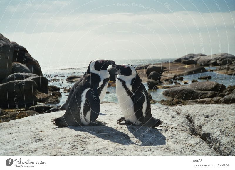Penguins in love Ocean Simon's Town Cape of Good Hope Africa Web-footed birds Love In pairs Pair of animals Related
