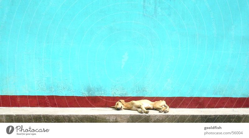 siesta Sleep Calm Dog Multicoloured Background picture Animal Wall (barrier) Central America Vacation & Travel Appetite Stone