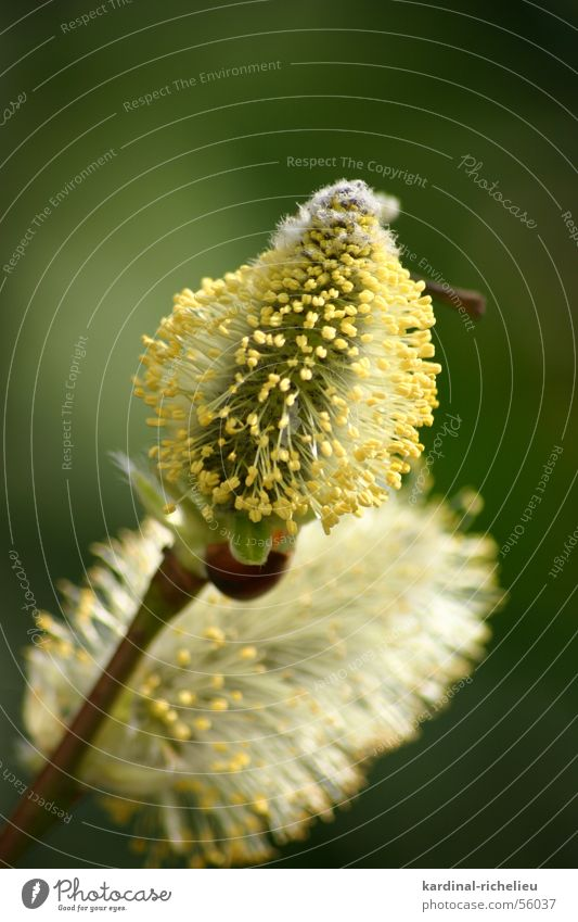 Green Yellow Blossom Spring Near Bee Pasture Pollen Wake up Catkin