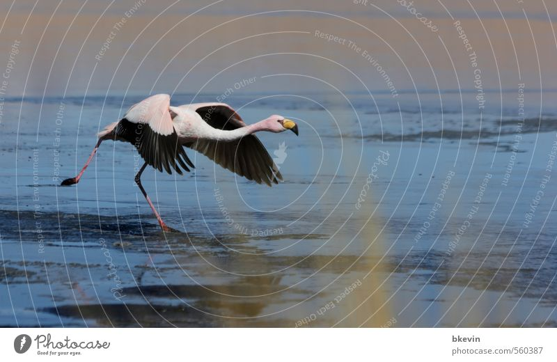 launch Nature Animal Wild animal Bird Flamingo Esthetic Elegant Exotic Free Blue Pink Brave Determination Beginning Movement Resolve Departure Flying