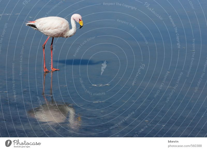 Flamingo with ice cream Nature Animal Wild animal Bird Water Cold Blue Pink Ice Reflection Wait Surface Unreachable Late Colour photo Exterior shot