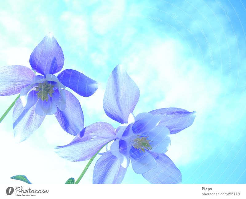 Blue Spring Colour photo Exterior shot Close-up Copy Space top Day Garden Nature Sky Flower Blossom Blossoming White Spring fever Transience Aquilegia flowers 2