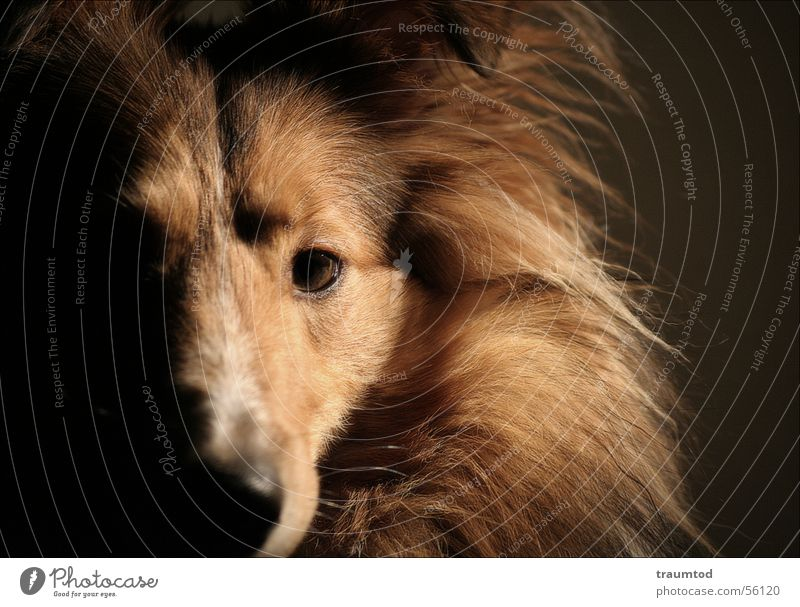 what do you want from me Dog Shetland Collie Portrait photograph Pet Puppy Ball of wool Pelt Black Animal Dog's head Honey Loyalty sheltie sheepdog Purebred dog