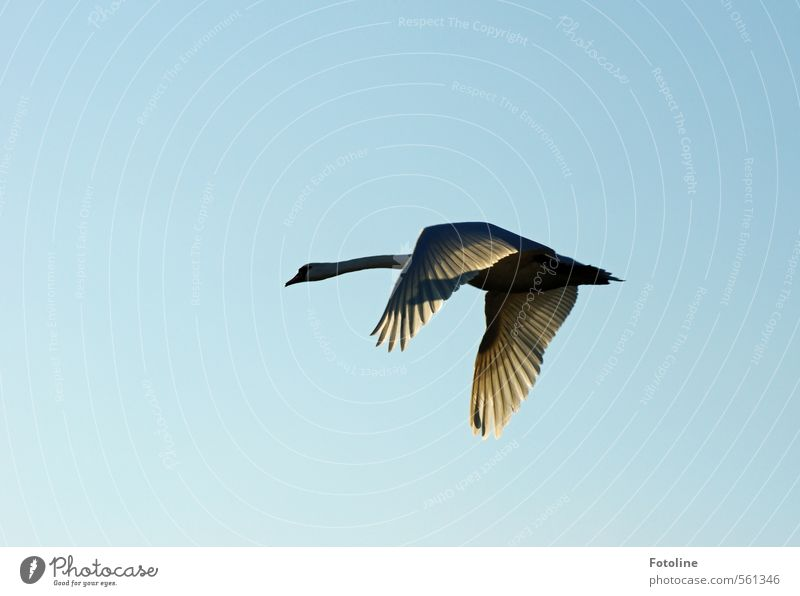 Sky Beautiful Animal Natural Bright Bird Flying Wing Cloudless sky Swan