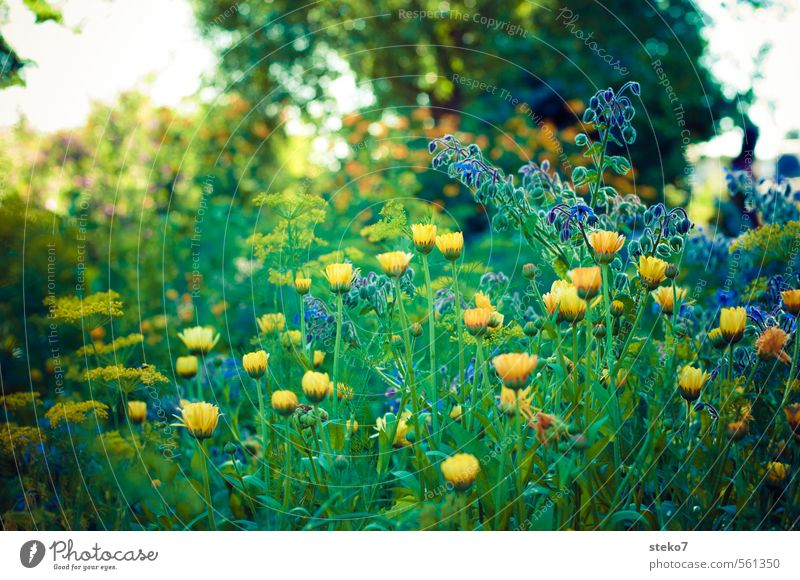 Summer melancholy Plant Flower Blossom Garden Blossoming Blue Yellow Green Country  garden Meadow flower Sadness Colour photo Exterior shot Deserted