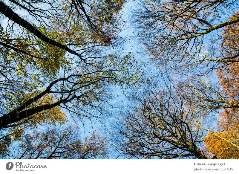 Happy New Year! Nature Sky Cloudless sky Autumn Beautiful weather Tree Forest Large Tall Natural Wild Blue Yellow Autumnal Deciduous forest Automn wood Branched