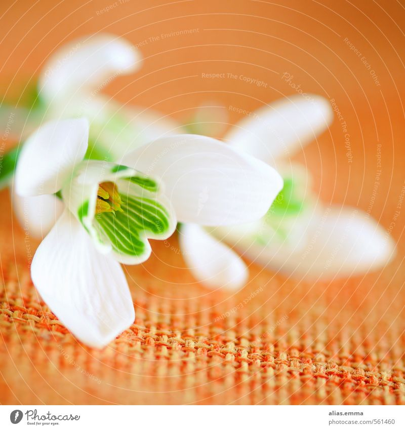 snowdrops Snowdrop Flower Winter Spring White Orange Delicate Spring flower Nature Blossom Square