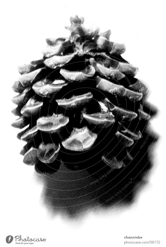 fir trees Cone Light and shadow Tree Object photography Black & white photo object and shadow Nature Freedom Bright background Natural Pine cone