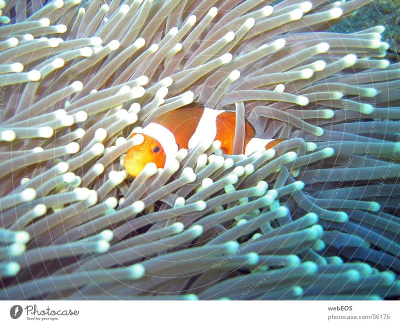 Nemo Anemone Fishes Clown fish Finding Nemo Dive Underwater photo cautious biting canon s 50 without flash depth: 10 meters