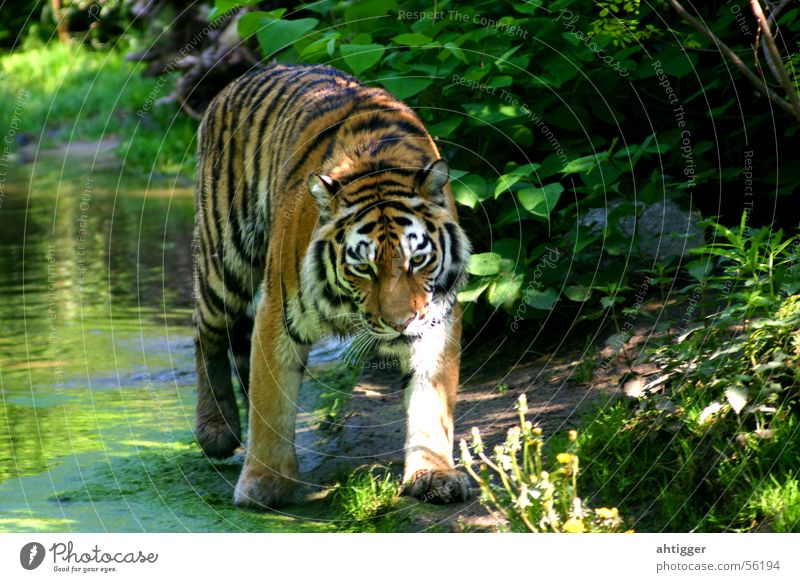 Water Zoo Cat Tiger