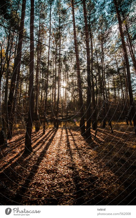 Shadows in the forest Freedom Nature Plant Earth Sky Sunrise Sunset Sunlight Autumn Beautiful weather Tree Grass Leaf Forest Wood Thin Blue Brown Colour photo