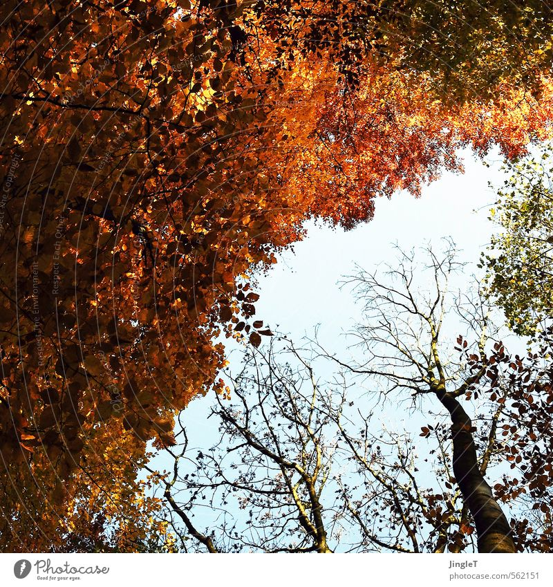 golden section Environment Nature Plant Sky Autumn Tree Leaf Treetop Forest Breathe To enjoy Friendliness Blue Brown Yellow Gold Green Red Black Contentment