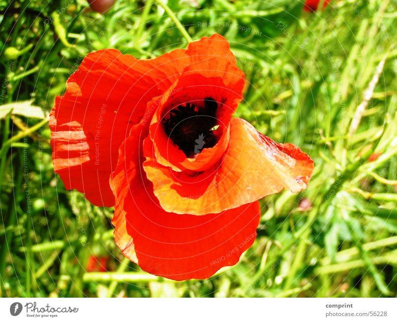 Sun Flower Summer Meadow Blossom Poppy Poppy blossom Corn poppy