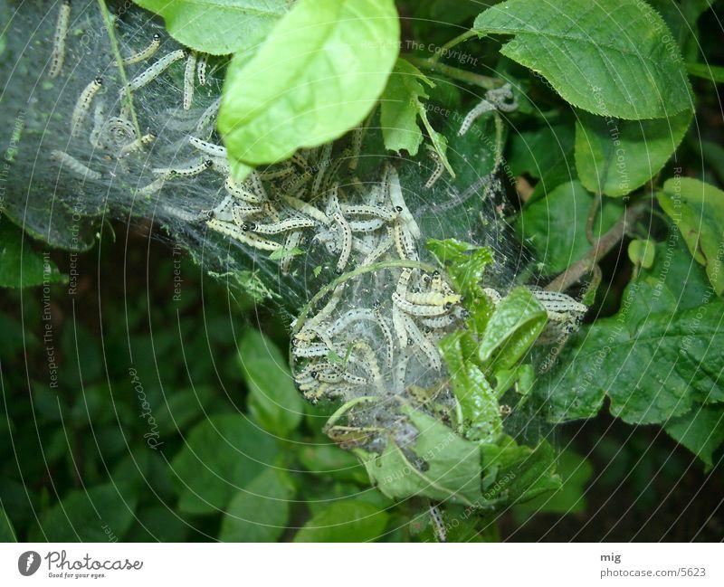 caterpillars Animal Leaf
