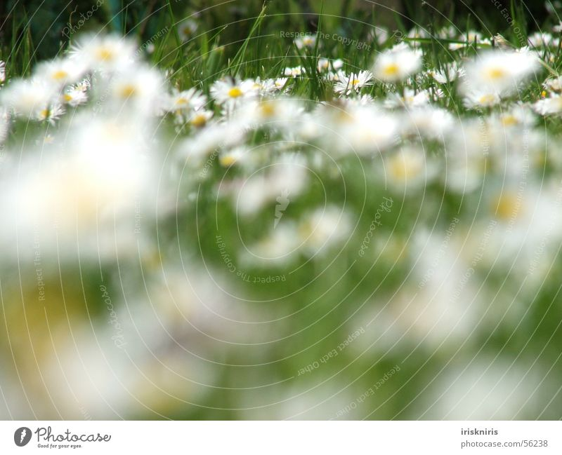 Daisies in the wind Meadow Daisy Flower Green Grass Blossom Summer Seasons Break Blur Blade of grass Exterior shot Macro (Extreme close-up) Close-up Spring