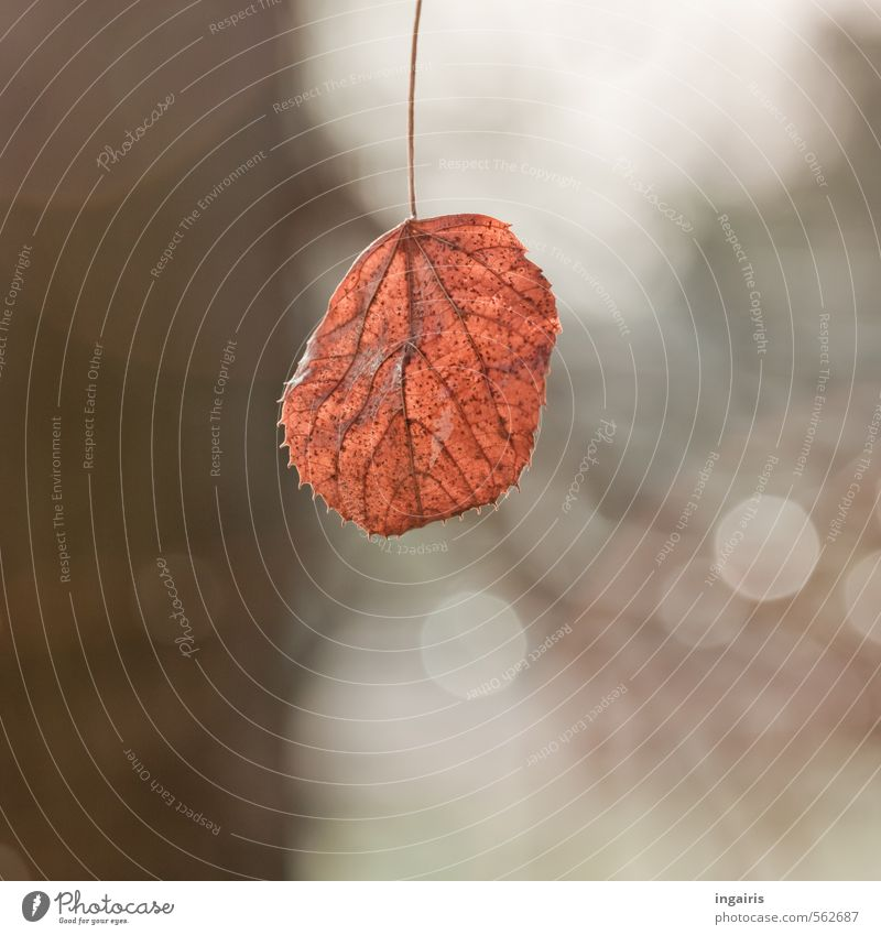 Winter beckons Nature Autumn Plant Tree Leaf Sign Glittering Hang Illuminate To dry up Simple Dry Brown Gray Black White Moody Calm Loneliness Transience Blur