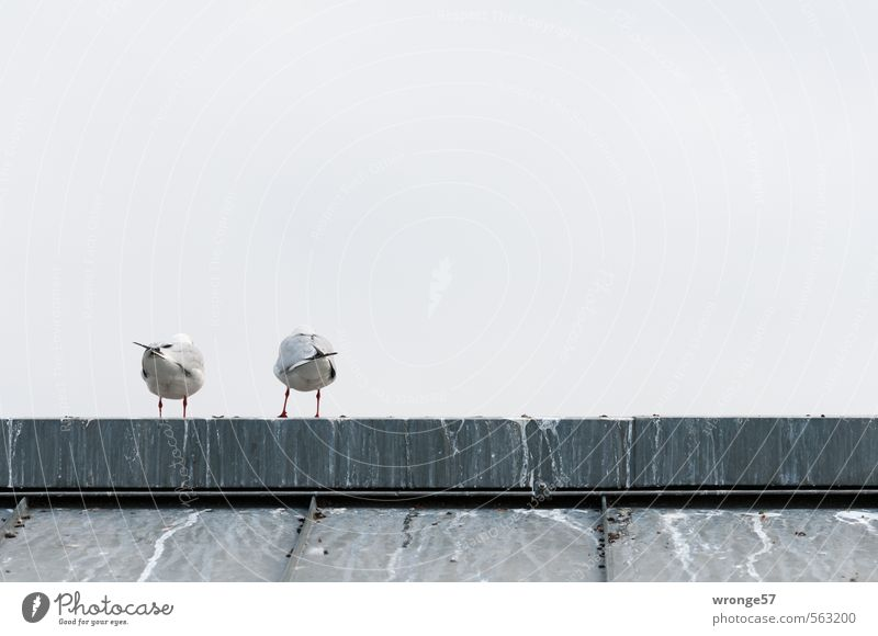 back Animal Sky Autumn Roof Roof ridge Wild animal Bird Seagull Gull birds 2 Gray Together Back Rear view Hind quarters Pair of animals bottom view Colour photo