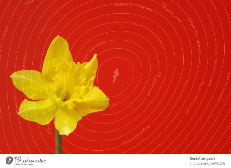 Great Chinese Flag Wild daffodil Narcissus Spring snowflake Flower Wake up Plant Growth Maturing time Beautiful Blossom Blossoming Calyx Yellow Green Red Style