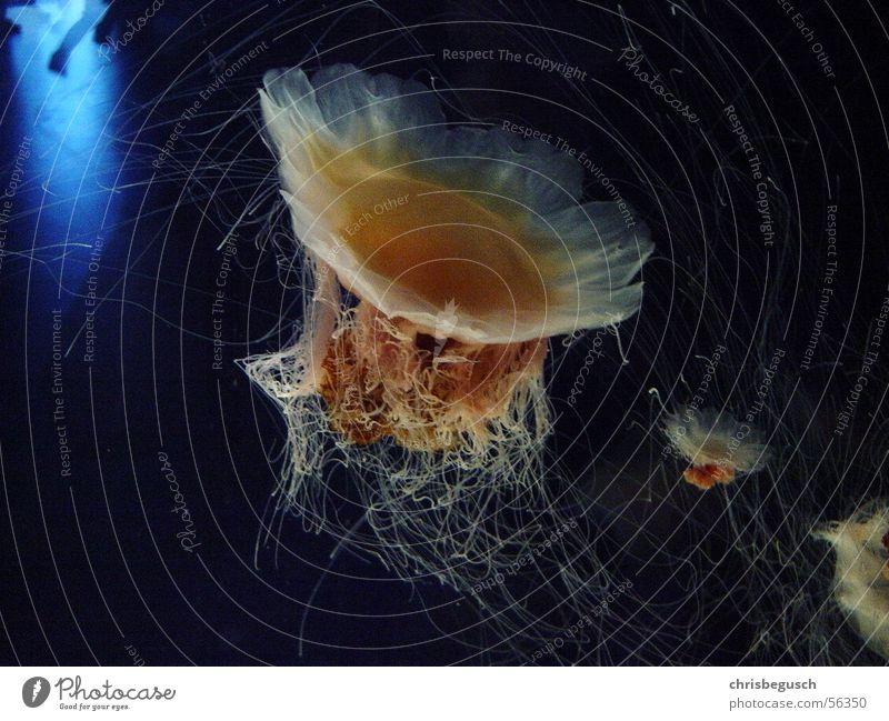 jellyfish family Jellyfish Ocean Water stinger