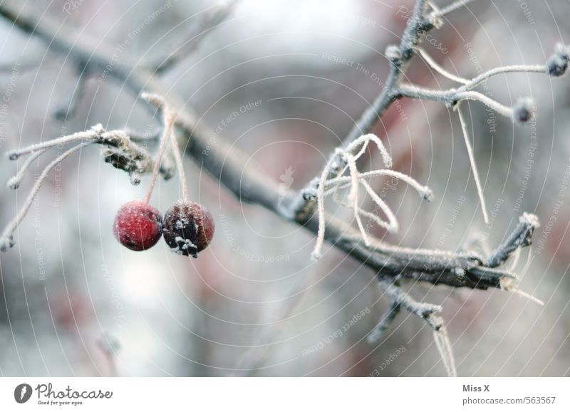 winter apple Fruit Apple Garden Nature Winter Weather Bad weather Ice Frost Snow Tree Freeze Hang Cold Red Branch Twig Apple tree Hoar frost Frozen Winter mood