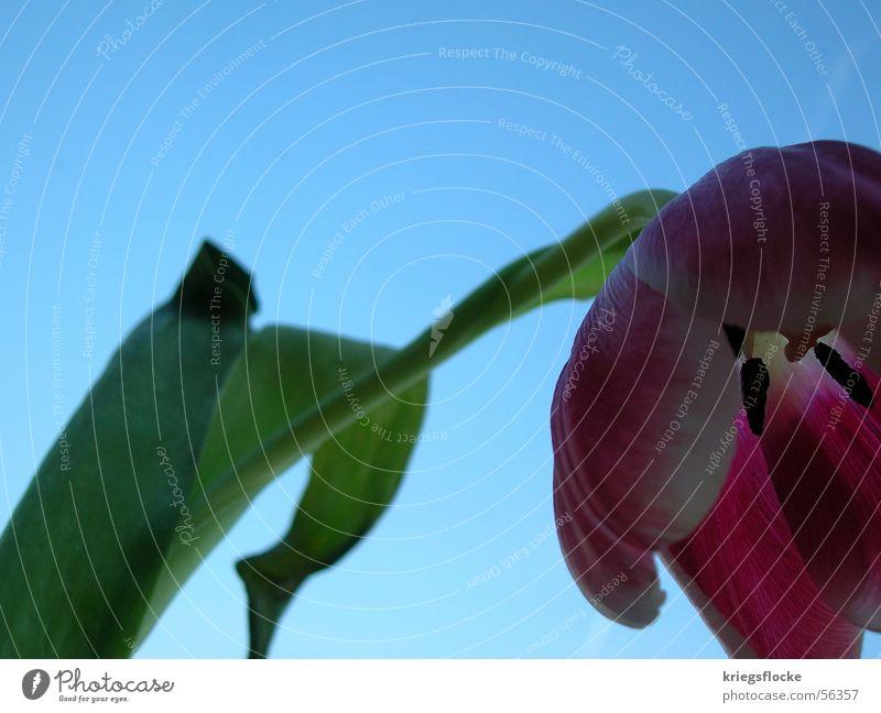 Sky Flower Blue Plant Leaf Blossom Spring Stalk Tulip