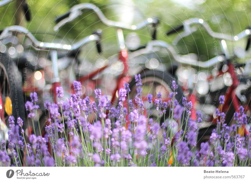 I want to ride my bicycle Fitness Leisure and hobbies Cycling Vacation & Travel Summer Sports Bicycle Nature Plant Beautiful weather Lavender Street Movement